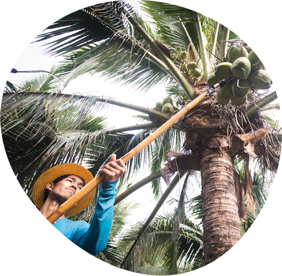 Face of a coconut farmer picking a coconut off a tree